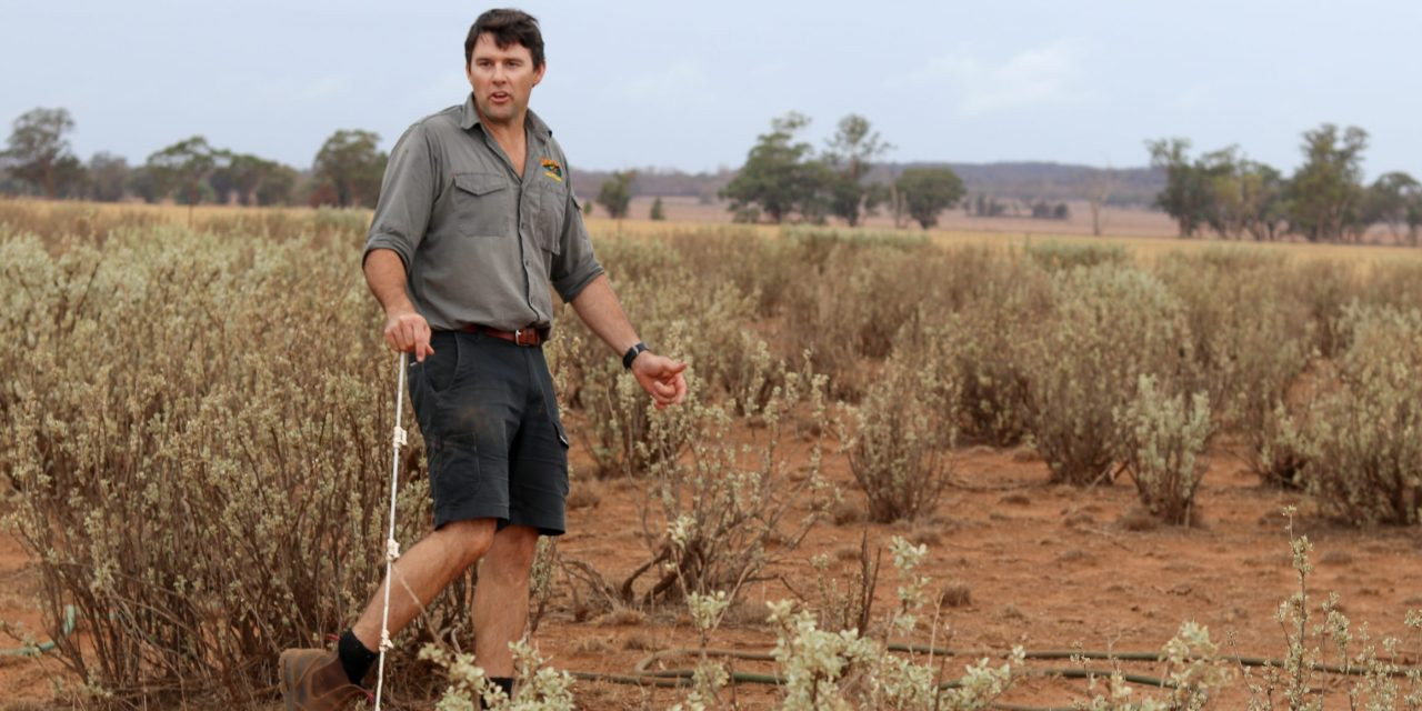 Betting the farm on Old Man Saltbush