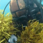 Operation Crayweed: saving Sydney's underwater forests
