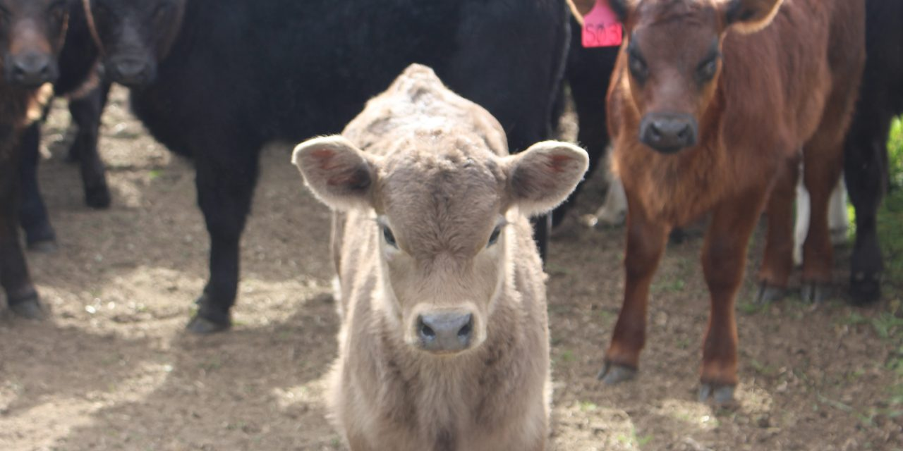 Cattle, carbon and country: a farmer's story