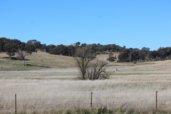 Dry paddock with dead tree in centre