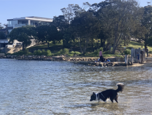 A pet dog in the waters of Cooks River